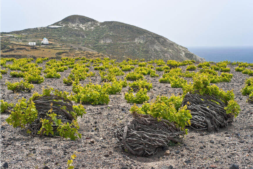 Santorini Wineries - Vineyards - Kamari Tours Excursions